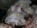 Schorpioenvis tijdens nachtduik