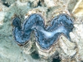 giant-clam2