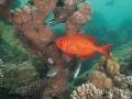 redmouth-grouper