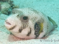 whitespotted-puffer
