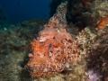 Oranje schorpioenvis