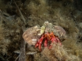 Grote heremietkreeft (Dardanus calidus)