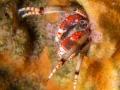Heremietkreeft (Calcinus tubularis)